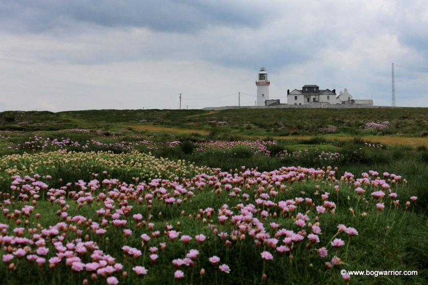 Sea pink flowers on the cliffs