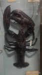 Lobster in Natural History Museum, Dublin